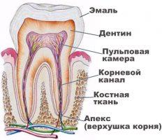 Anatom_